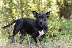 Perro mezclado dogo corto de la raza del perro basset Imagen de archivo libre de regalías