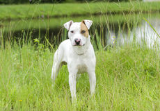Perro mezclado dogo de la raza de bull terrier Imagen de archivo libre de regalías