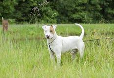 Perro mezclado dogo de la raza de bull terrier Fotografía de archivo libre de regalías