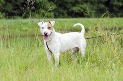 Perro mezclado dogo de la raza de bull terrier Fotos de archivo libres de regalías