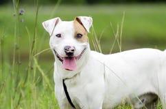 Perro mezclado dogo de la raza de bull terrier Imagenes de archivo