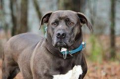 perro mezclado dogo de la raza del Bajo-jinete Fotografía de archivo