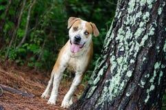 Perro mezclado dogo de la raza del perro Fotografía de archivo libre de regalías