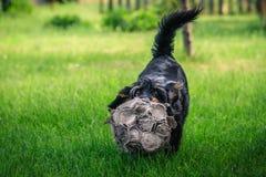 Perro mezclado feliz de la raza que juega con una bola en el verde, jardín soleado fotos de archivo