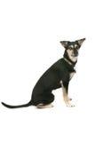 Perro mezclado grande de la casta que se sienta en el fondo blanco foto de archivo libre de regalías