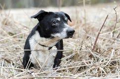 Perro mezclado Jack Russell Terrier viejo de la raza Imagenes de archivo