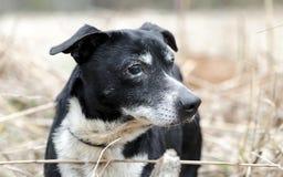 Perro mezclado Jack Russell Terrier viejo de la raza Foto de archivo