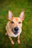 Perro mezclado laboratorio de la raza de Pitbull Fotos de archivo libres de regalías
