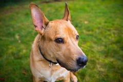 Perro mezclado laboratorio de la raza de Pitbull Fotografía de archivo libre de regalías