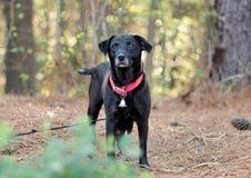 Perro mezclado Labrador negro de la raza Imágenes de archivo libres de regalías