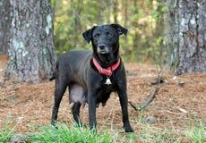 Perro mezclado Labrador negro de la raza Imagenes de archivo