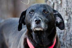 Perro mezclado Labrador negro de la raza Imagen de archivo libre de regalías