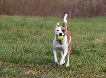 Perro mezclado labrador retriever de la raza del boxeador Imagenes de archivo