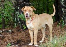 Perro mezclado mastín americano de la raza del dogo Foto de archivo