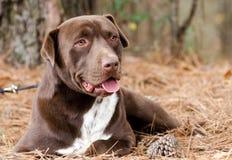 Perro mezclado mastín de la raza de Labrador del chocolate fotografía de archivo libre de regalías