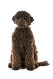 Perro mezclado melenudo lindo de la casta fotos de archivo libres de regalías