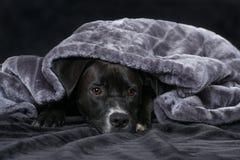 Perro mezclado negro de la raza con una manta en fondo negro foto de archivo