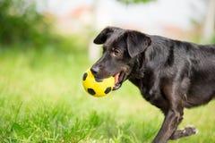 Perro mezclado negro de la raza que juega con el balón de fútbol Imágenes de archivo libres de regalías