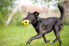 Perro mezclado negro de la raza que juega con la bola del fútbol Fotografía de archivo