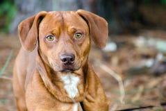 Perro mezclado perro basset de la raza del beagle Fotografía de archivo