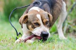 Perro mezclado perro de la raza que mastica el hueso Fotografía de archivo libre de regalías
