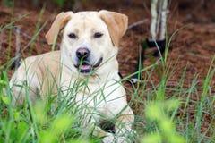 Perro mezclado perro perdiguero amarillo de la raza del laboratorio Fotografía de archivo