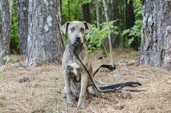 Perro mezclado Pitbull de la raza del perro de Plott del boxeador Fotos de archivo libres de regalías