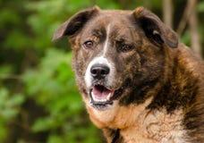 Perro mezclado Pyrenees de Anatolia berrendo de la raza del pastor Imágenes de archivo libres de regalías