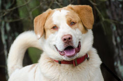 Perro mezclado Pyrenees Retriever de Anatolia de la raza del pastor Imágenes de archivo libres de regalías