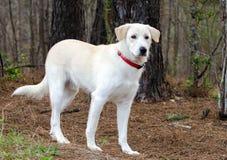 Perro mezclado Pyrenees Retriever de Anatolia de la raza del pastor fotografía de archivo libre de regalías