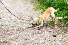 Perro mezclado que rechaza caminar imagen de archivo libre de regalías