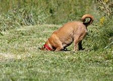 Perro mezclado ridgeback de la casta del boxeador/de Rhodesian Imagen de archivo libre de regalías