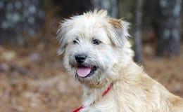 Perro mezclado Terrier de trigo suavemente revestido de la raza fotos de archivo