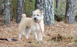 Perro mezclado Terrier de trigo suavemente revestido de la raza foto de archivo