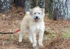Perro mezclado Terrier de trigo suavemente revestido de la raza fotografía de archivo libre de regalías