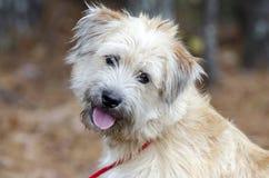 Perro mezclado Terrier de trigo suavemente revestido de la raza imágenes de archivo libres de regalías