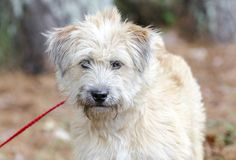 Perro mezclado Terrier de trigo suavemente revestido de la raza imagenes de archivo