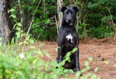Perro mezclado Terrier negro de la raza del laboratorio foto de archivo
