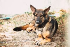 Perro militar alemán del alsatian del soldado del perro de pastor K-9 Imagen de archivo