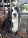 Perro mimoso detrás de las puertas Imagenes de archivo
