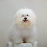 Perro minúsculo de la raza del perrito del tzu de Shih Imágenes de archivo libres de regalías