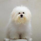 Perro minúsculo de la raza del perrito del tzu de Shih Imagen de archivo libre de regalías