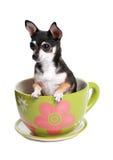 Perro minúsculo en taza de té grande Fotografía de archivo libre de regalías