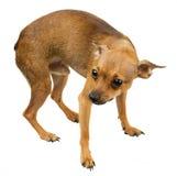 Perro mini - terrier de juguete ruso Foto de archivo libre de regalías