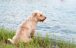 Perro mojado Imagen de archivo