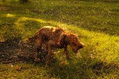 Perro mojado Fotos de archivo