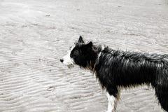 Perro mojado en la playa de Puerto Piramides, el sol, las ondas y la arena, día hermoso foto de archivo