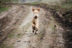 Perro mojado y sucio que corre a lo largo de una carretera nacional Fotografía de archivo libre de regalías