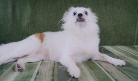 Perro mullido blanco fresco que descansa sobre un sofá verde Perro de Pomerania alemán con los ojos azules fotografía de archivo libre de regalías