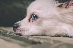 Perro mullido blanco que miente en el sofá y la mirada muy cuidadosa al lado imágenes de archivo libres de regalías